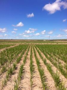 Rice in uruguay